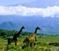 sm_Tanzania-Giraffe